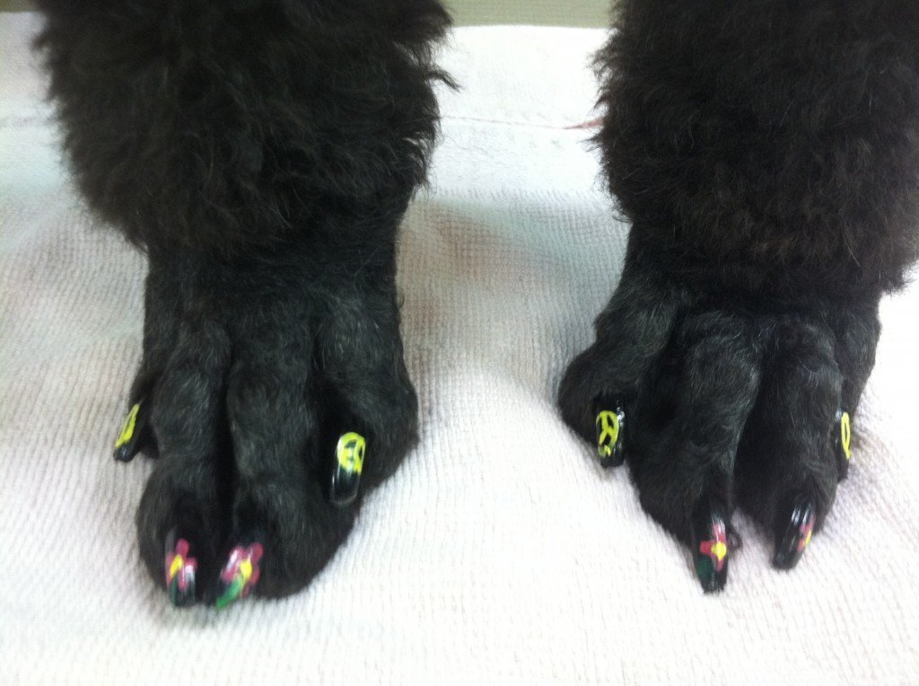 Dog Nail Polish on a Poodle