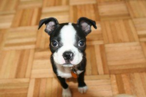 Maurice the Boston Terrier