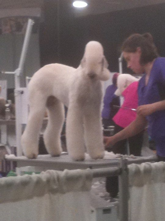 poodle getting groomed