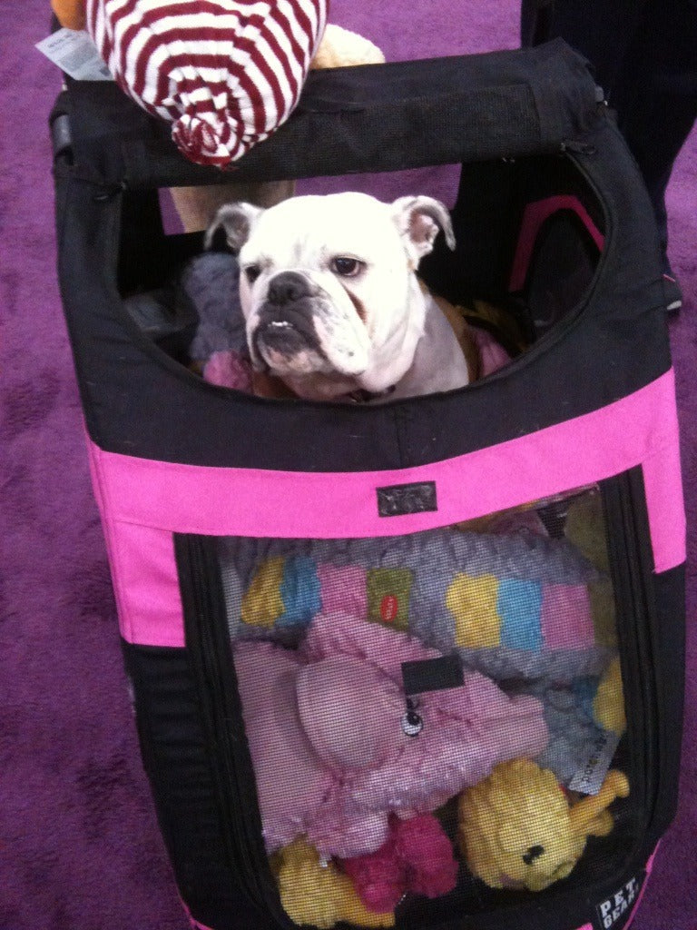 bulldog in a carriage