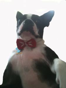 Boston terrier bowtie