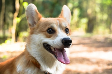 5 Facts You Didn't Know About the Pembroke Welsh Corgi