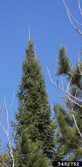 Balsam Fir - Transplants
