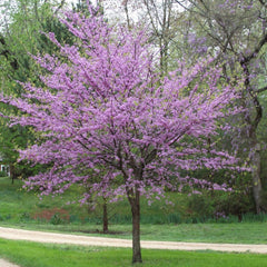 Eastern Red Bud