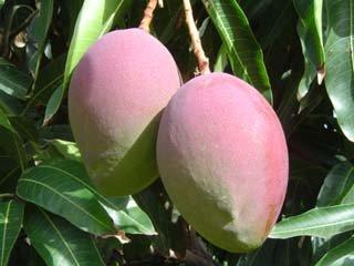 SPANISH MANGOES  2 PCS