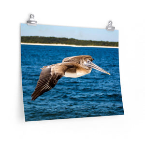 Poster Print:  Pelican in Flight