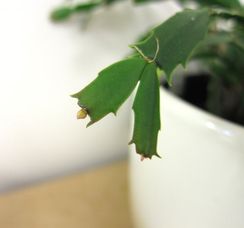 christmas cactus plant blooms