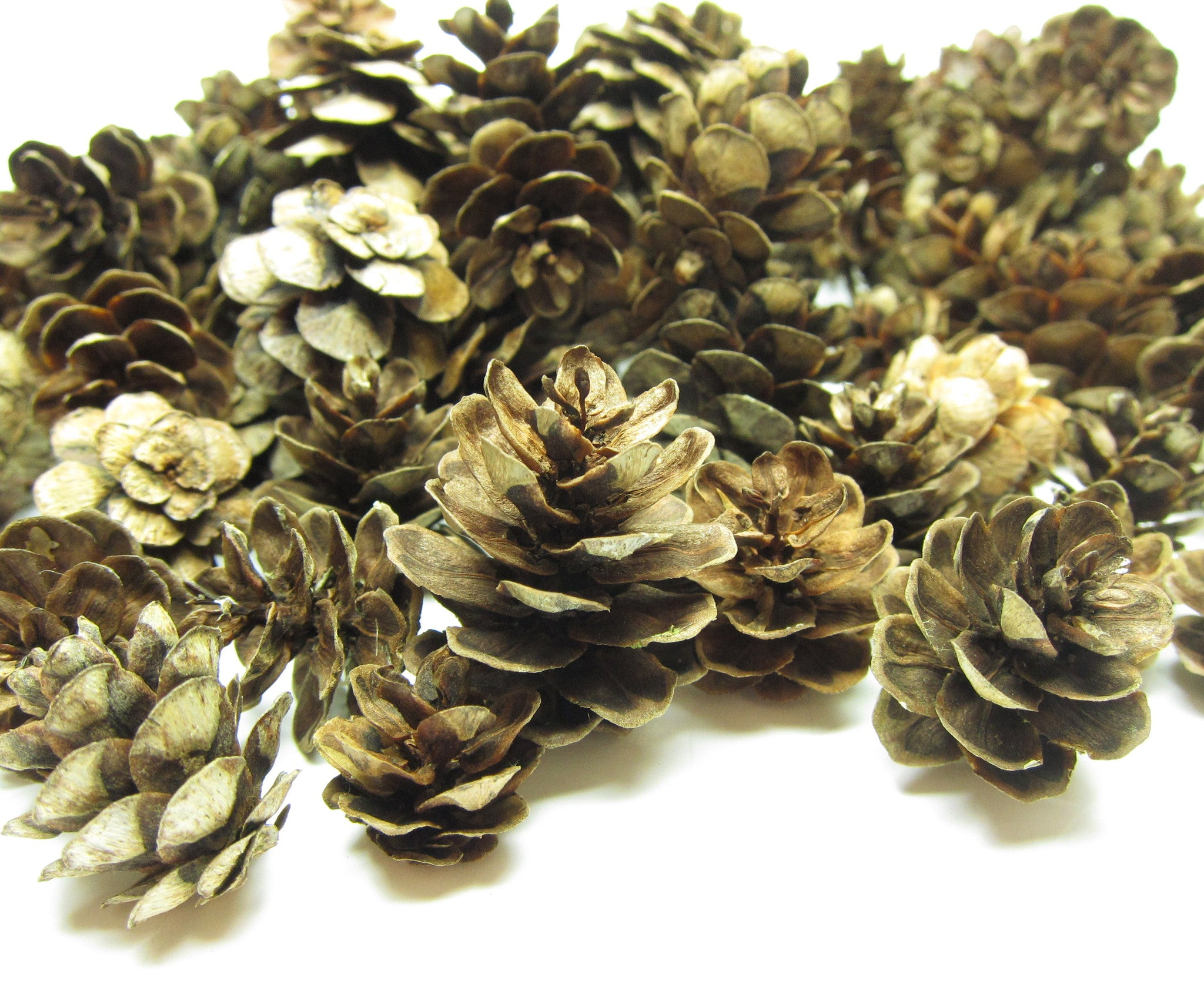 Natural Pine Cones 100 Piece Real Miniature Washington Pine Cones