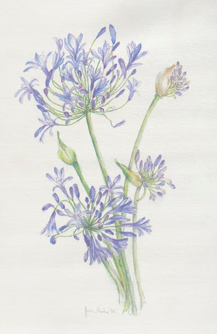 Cards Agapanthus (5 per pack)