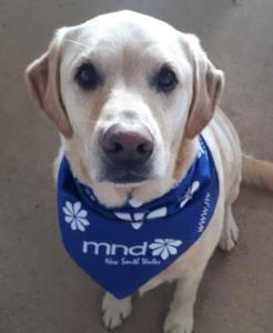 Dog Bandana - MND NSW