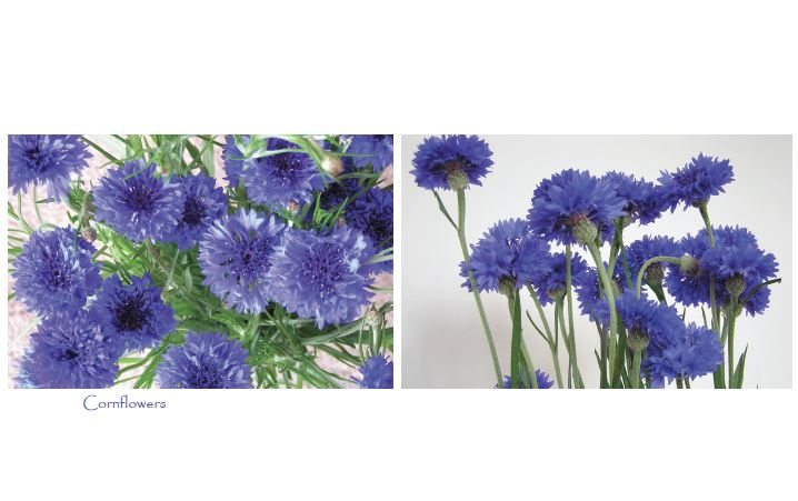 Cornflower cards with two images (5 per pack)