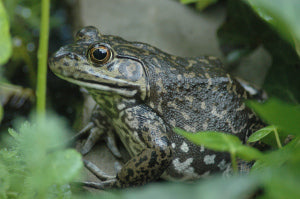 Close up of the Anna Pell House American Bullfrog