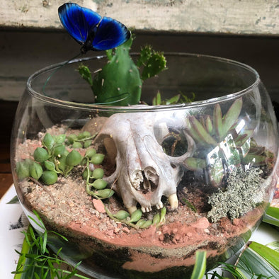 Terrarium with a bobcat skull, succulents, cacti and a butterfly.