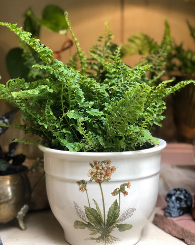 House plant, fern, with vintage botanical print planter.