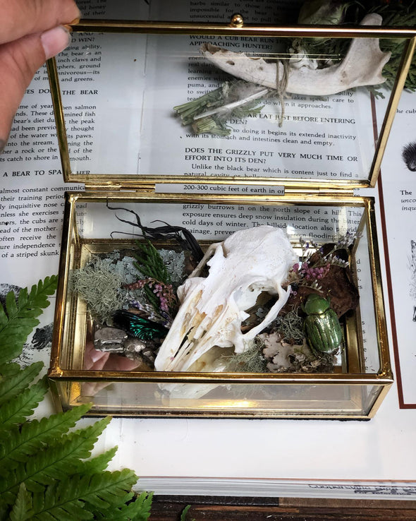 rabbit skull in glass case. taxidermy and oddities