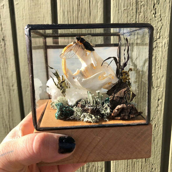 muskrat and cicada curiosity cube. Oddities, taxidermy collection