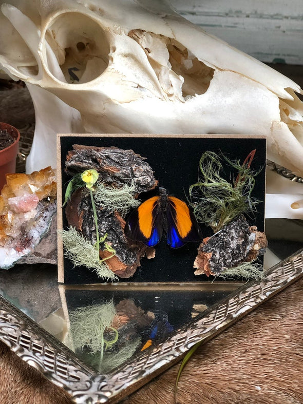 Framed butterfly in a black frame with moss and flowers.