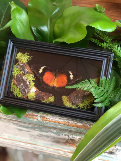 orange framed butterfly for oddities