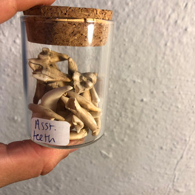 a glass jar filled with animal teeth from animal skulls.