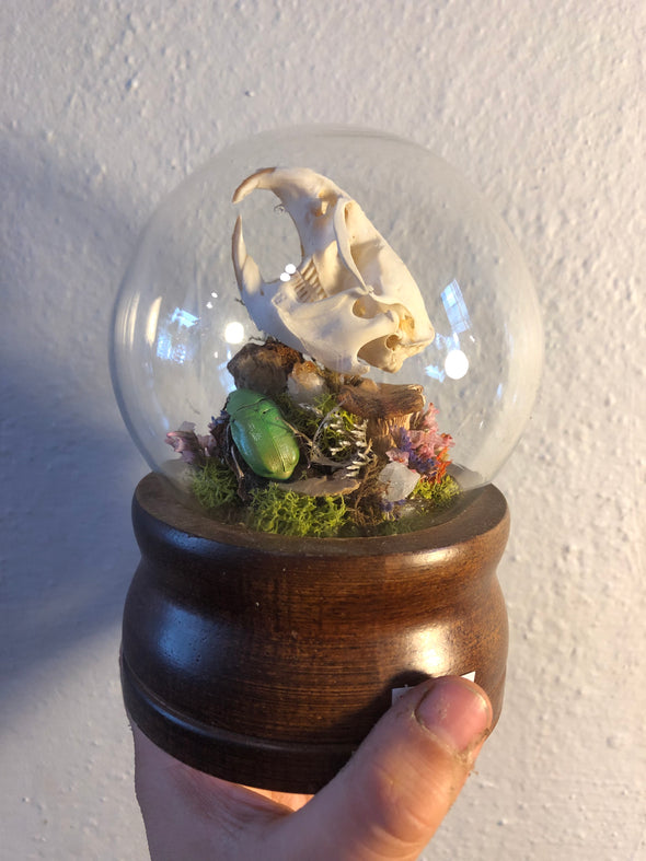 Muskrat skull with Scarab Beetle in Glass Globe