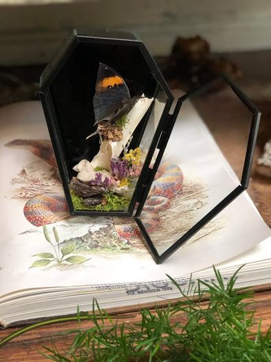 a taxidermy butterfly mount in a glass coffin with deer bones.