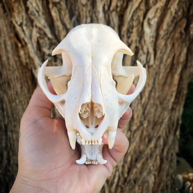 a bobcat skull in Denver, Co. Taxidermy, Oddity, Curiosity collection.