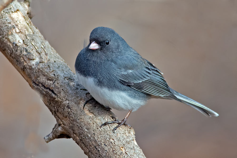 "Face Mask Bird Design Dark-Eyed Junco Photo Reusable Cotton Face Mask,. 8 1/2 X 5"" Curved construction to fit your face closely. These masks include  a PM 2.5, which may already inserted into the mask .  Our masks stack multiple layers of material, Outside Polyester, interior is soft 100% pre-washed cotton.   The CDC has adopted a safety-first policy and is recommending everyone wear non-medical protective face coverings to help ""flatten the curve"""
