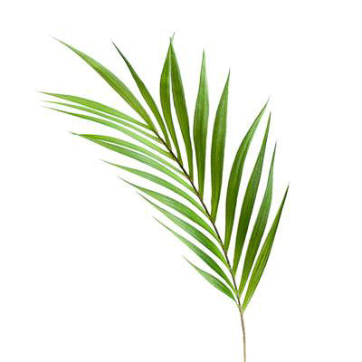 "Palm Leaf 36"" Stem"