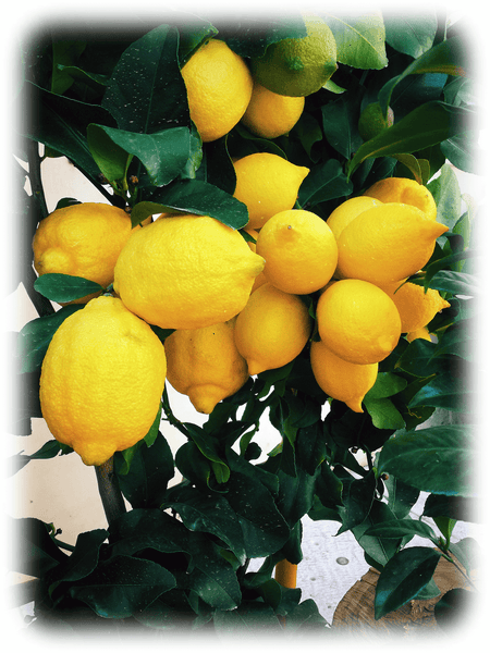 Zitrone-Limoncello-Italien:  Limoncello kaufen/bestellen online im Italienshop 🇮🇹: Limoncello enthält frische gelbe Zitronen aus Sizilien für den berühmten italienischen Digestivo nach dem Essen. The lemon, Citrus limon, is a species of small evergreen tree in the flowering plant family Rutaceae. The tree's ellipsoidal yellow fruit is used for culinary and non-culinary purposes throughout the world, primarily for its juice, which has both culinary and cleaning uses. Limoncello kaufen (Likör) • 🇮🇹 Sizilianische Zitronen von Giuseppe BIANCHI Distillati.   (Schweiz)