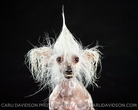 < Chinese Crested >