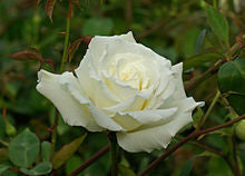 Rose Fragrance Oil