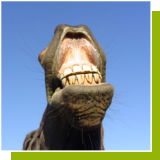 Don't Look a Gift Horse in the Mouth: All About HorseTeeth