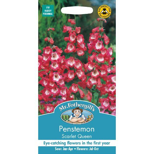 Penstemon Scarlet Queen