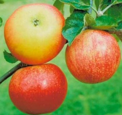 'Discovery' Apple Tree_image