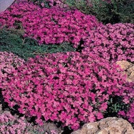 Aubrietia Rich Rose
