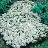 Alyssum Snow Cloth_thumb