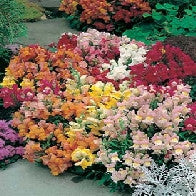 Antirrhinum Tom Thumb Mixed