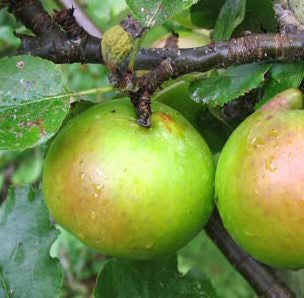 'Bramleys Seedling' Apple Tree_image