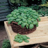 Basil Herb Sweet_thumb