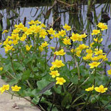 Caltha Palustris_thumb
