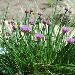CHIVES HERB PLANT_image