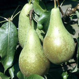 'Conference' Pear Tree_thumb