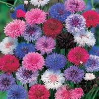 Cornflower Tall Mixed