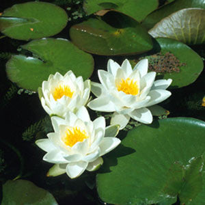 Water lily Gladstoniana 'White'