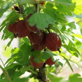 Gooseberry Bush 'Hinnonmaki Red'_thumb