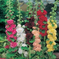 Hollyhock Chaters Double Mixed_image