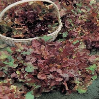 Lettuce Salad Bowl Red_image