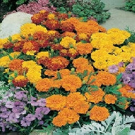 Marigold (French) Bonita Mixed