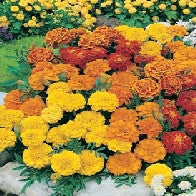 Marigold (French) Dwarf Double Mixed_image