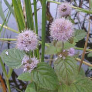 Mentha Aquatica (Water Mint)